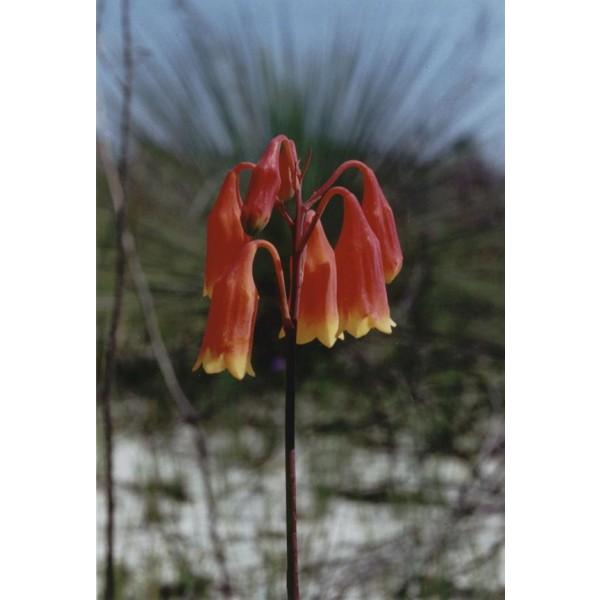 Blandfordia Grandiflora Seeds (Large Christmas Bells Seeds)
