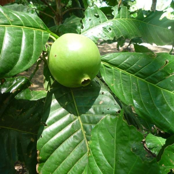 Borojo Seeds