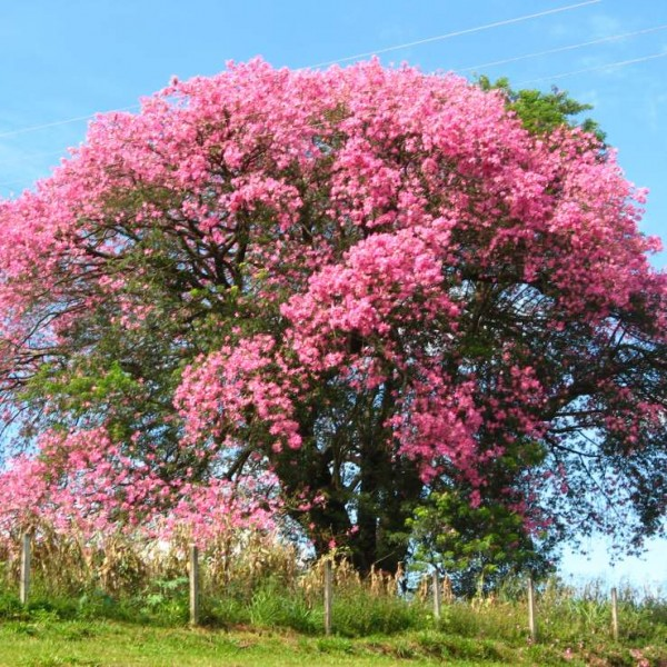 Buy Silk Floss Tree Seeds Rarexoticseeds