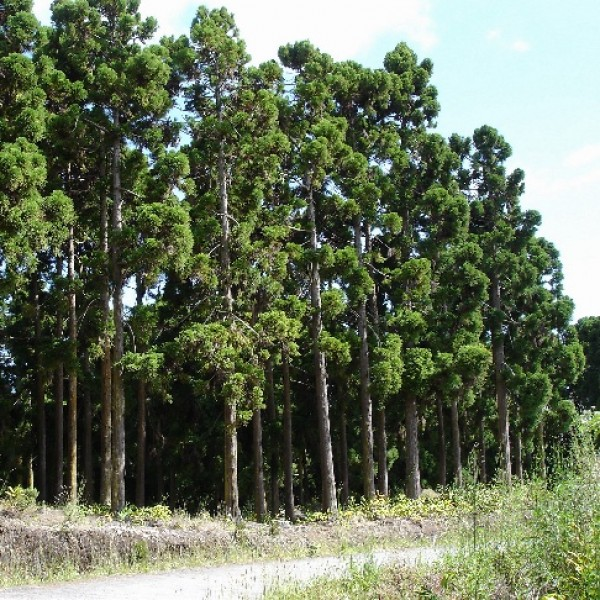 Cryptomeria Japonica (Wild Japanese Cedar)