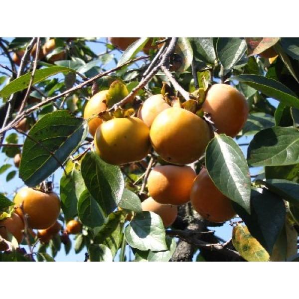 Japanese Persimmon Seeds