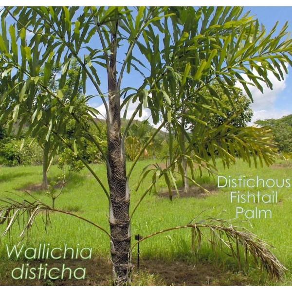 Distichous Fishtail Palm - Photo by Dr. David Clulow