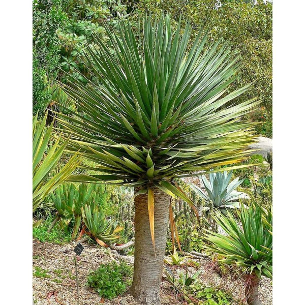 Room Plant Seeds Rarity Rare Plants schnellwüchsig Dragon Tree