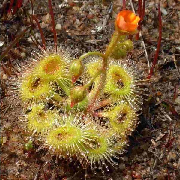 Drosera Glanduligera Seeds