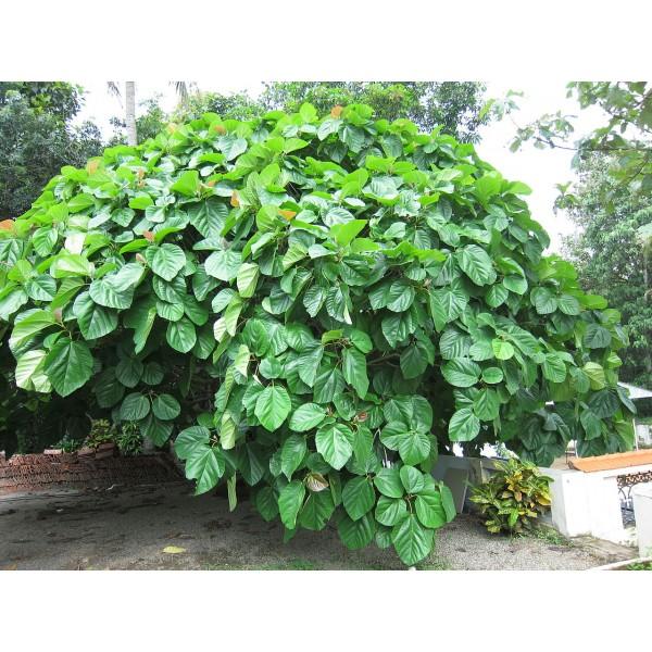 Ficus Auriculata Seeds Elephant Ear Fig Tree Roxburgh S Coconut Strawberry