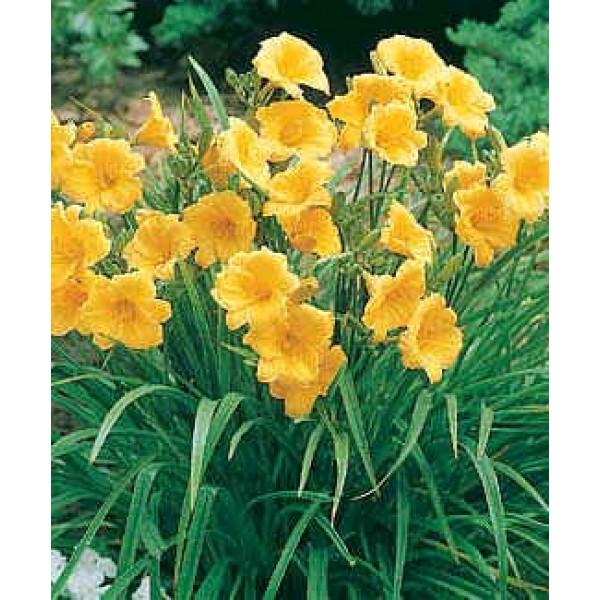 Daylily Stella d'Oro Diploid Seeds (Hemerocallis Seeds)