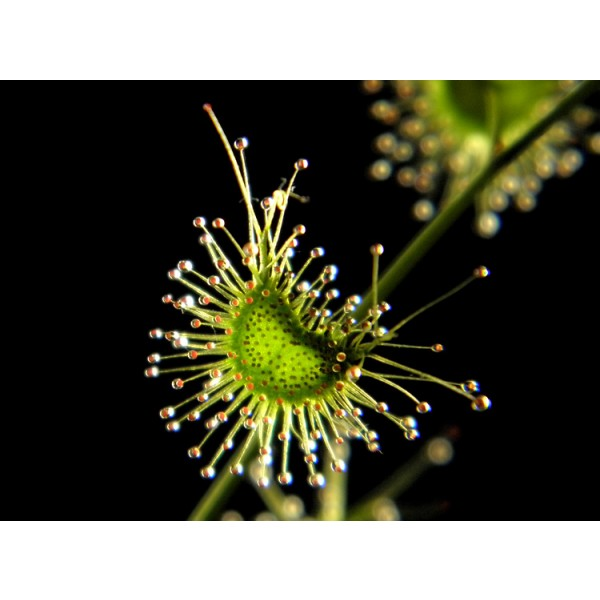 Giant Sundew Seeds