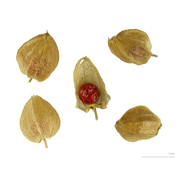 Withania Somnifera Seeds (Ashwagandha Seeds)