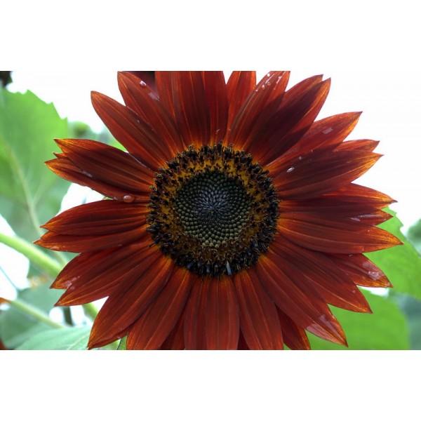 Helianthus Chocolate (Sunflower, Velvet Queen)