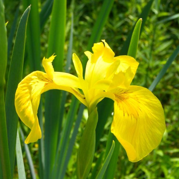 OVER 30 Pea Size Seeds *CHEAPEST* Iris Pseudacorus,Yellow//Water Flag,Wild Lilly
