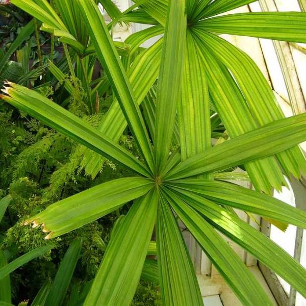 20 graines Licuala Spinosa Palme mangroves matières Palme Palmiers SEEDS