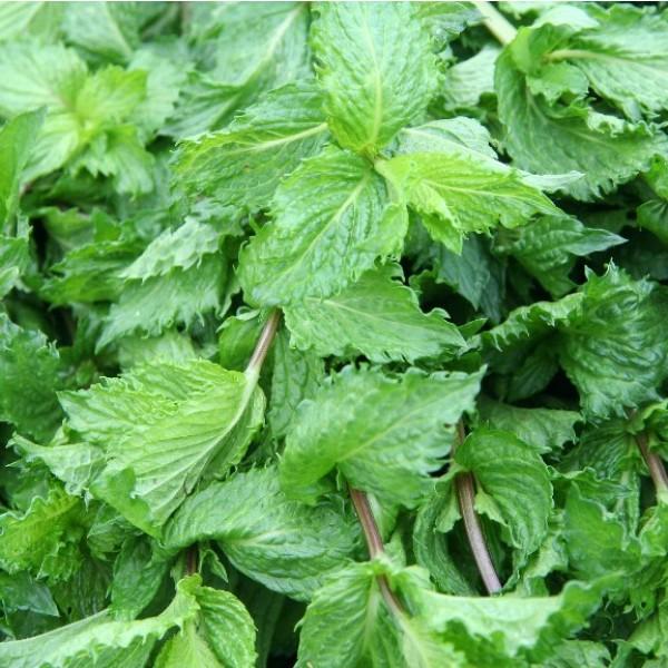 Mentha Spicata (Spearmint)