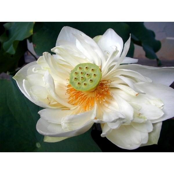 Buy Sacred Lotus Seeds Online Rarexoticseeds