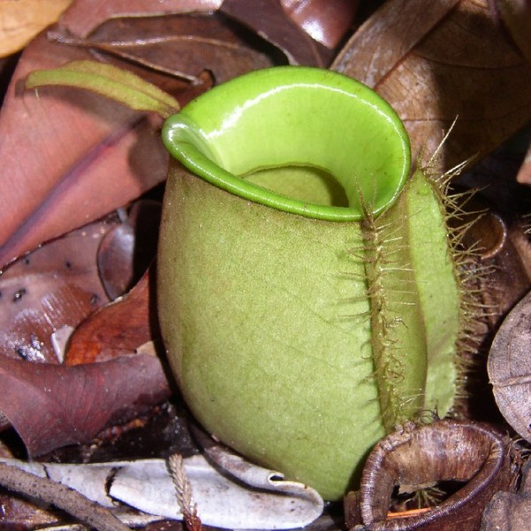 Nepenthes Ampullaria (Flask-Shaped Pitcher-Plant)