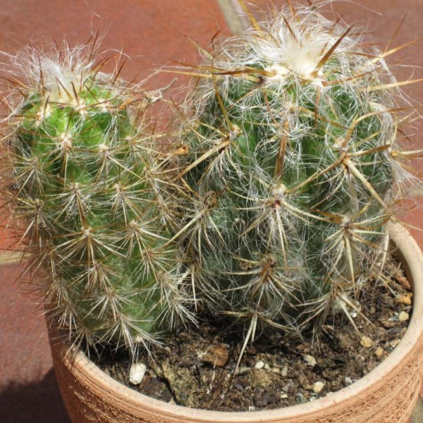 Oreocereus Celsianus Seeds