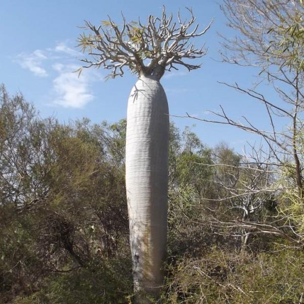 Pachypodium Geayi Seeds (Madagascar Palm Seeds)