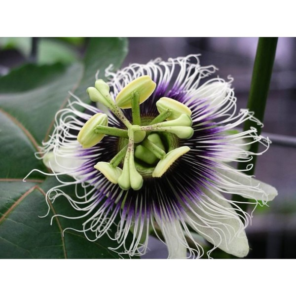 Passiflora Edulis Black Beauty