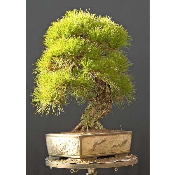 Pinus Densiflora (Japanese Red Pine Tree)