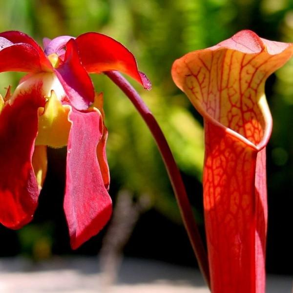 Sarracenia Rubra Gulfensis Seeds (Red Pitcher Plant, Sweet Pitcher Plant)