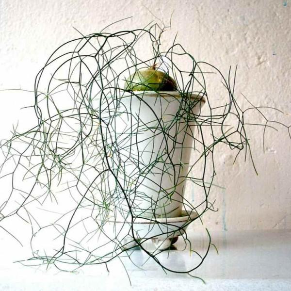 Schizobasis Intricata Seeds