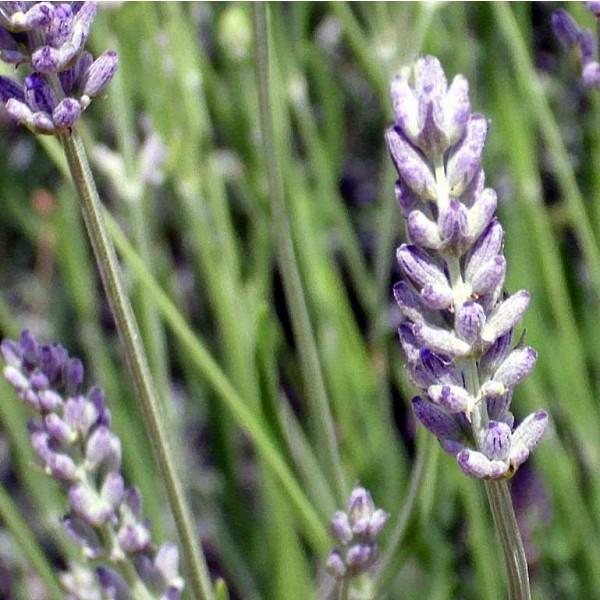 Spike Lavender Seeds (Lavandula latifolia)