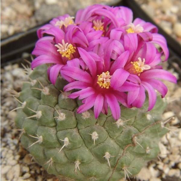 Strombocactus Pulcherrimus