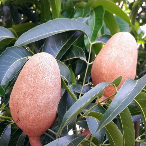 West Indies Mahogany Seeds