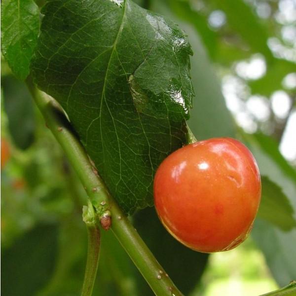 Wild Cherry Seeds