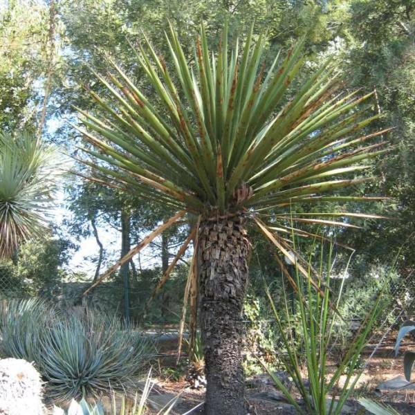 Yucca Carnerosana Seeds (Giant Spanish Dagger Seeds)