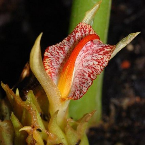 Zingiber Rubens Seeds (Bengal Ginger Seeds)