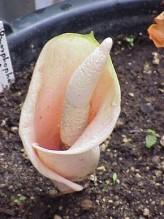 Amorphophallus Bulbifer Seeds (Voodoolily Seeds, Pink Devil's Tongue)