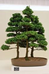 Chamaecyparis Obtusa Seeds (Hinoki False Cypress, Japanese Cypress Seeds)