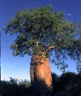 Fony Baobab seeds