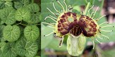 Aristolochia Fimbriata Seeds (White Veined Hardy Dutchman's Pipe Seeds)