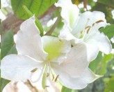 White Orchid Tree Seeds