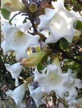 Beaumontia Grandiflora (Easter Lily Vine, Herald's Trumpet, Nepal Trumpet)