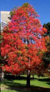 Illawara Flame Tree Seeds