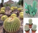 Cactus Seeds Mix (Cactus Seeds)