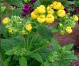 Calceolaria Integrifolia (Slipperwort, Pocketbook Plant)