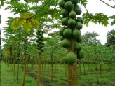 Carica Papaya (Pawpaw, Fruta Bomba, Lechosa, Milikana)