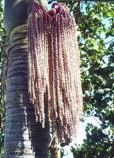 Caryota Urens (Jaggery Palm, Toddy Palm, Fishtail Palm)