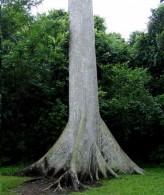Ceiba Pentandra (Kapok Tree, Silk Cotton Tree)