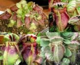 Cephalotus Follicularis (Australian Pitcher Plant)