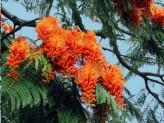 Colvillea Racemosa (Colville's Glory)