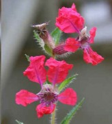 Cuphea Miniata