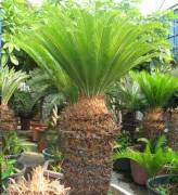 Cycas Revoluta (King Sago Palm, Cycad)