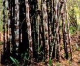 DendrocalamusGiganteus (Giant Bamboo)