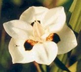 Dietes Bicolor (Fortnight Lily, Yellow Wild Iris)