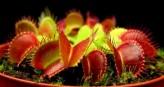 Dionaea Muscipula Mix of Other Forms (Venus Flytrap)