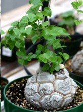 Dioscorea Elephantipes (Hottentot Bread, Turtle Shell, Caudex)